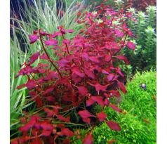 Ludwigia mini sp. super Red /Invitro/