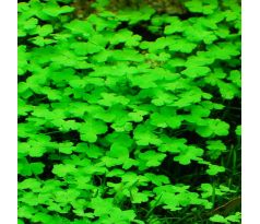 "Hydrocotyle tripartita ""Japan"" /Invitro/"
